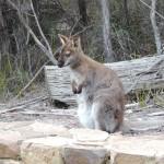 Wallaby Freycinet National Park Tasmania