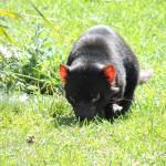 Tasmanian Devil Bicheno Wild Life Park