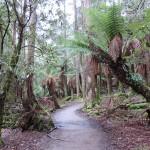 Mont Field primal forest Tasmania