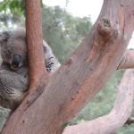 Koala au zoo de Sydney