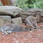 Kangourous au zoo de Sydney